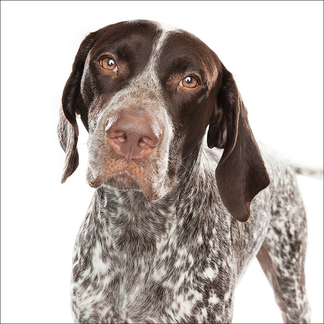 German Shorthaired Pointer