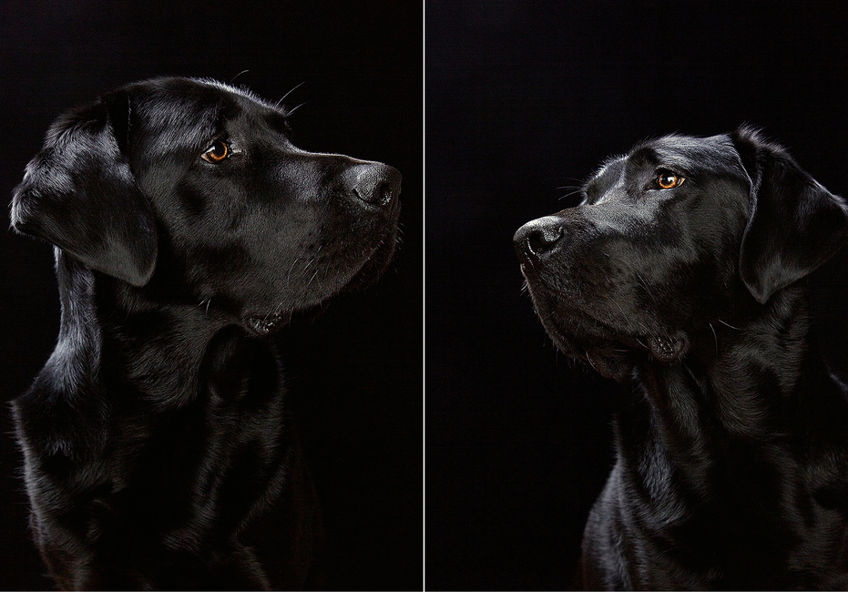Portrait of a Black Lab